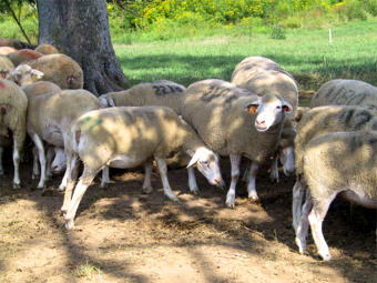 Polypay ewes