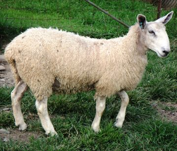 Bluefaced Leicester ewe lamb
