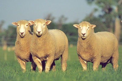 Borderdale rams
