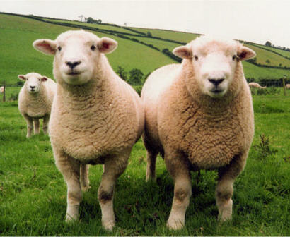 Devonshire Closewool sheep