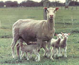 Finn ewe with quads