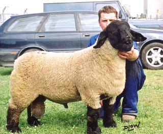 UK Suffolk ram