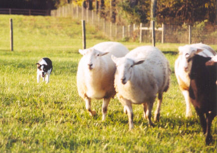 Fetching the sheep