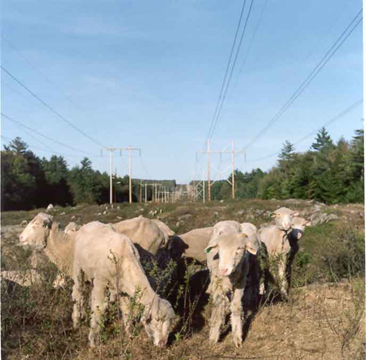 Grazing under powerlines
