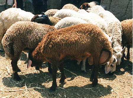 Rahmani sheep
