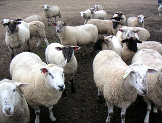 Mixed breed ewes