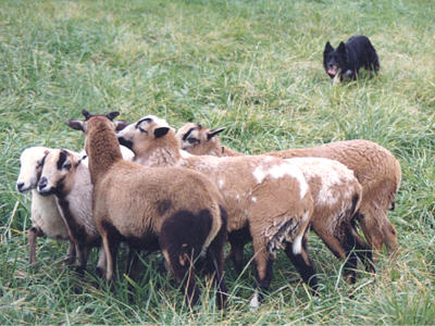 Border Collie working sheep